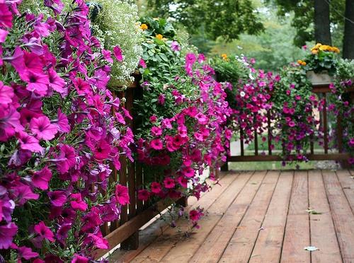 Petunias trailing full sun annual garden ideas for Annual garden designs