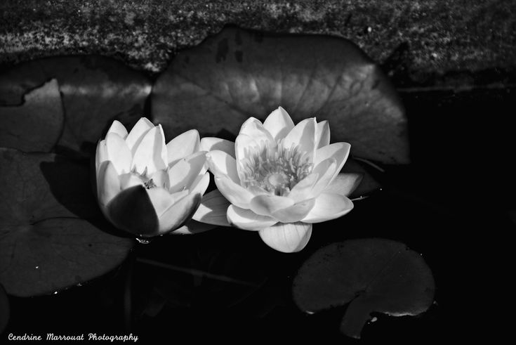 The water lily (4) by Cendrine Marrouat
