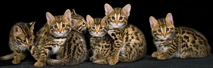 f3 savannah kittens i will have one