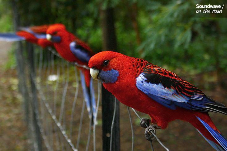 Crimson Rosella, Victoria, Australia http://soundwaveontheroad.com/les-oiseaux-du-dandenong-ranges-national-park/