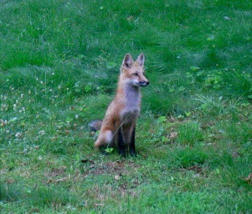 (c)beautflstranger male fox