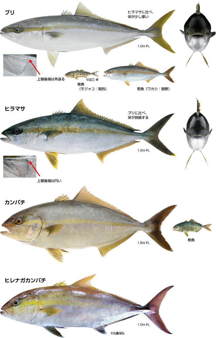 第1回 ブリ~世界で日本近海にしかいない魚~ | 小学館のWEB図鑑Z | 小学館 BOOK PEOPLE