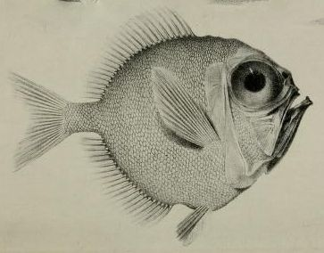 From The Proceedings of the Zoological Society of London, 1833.