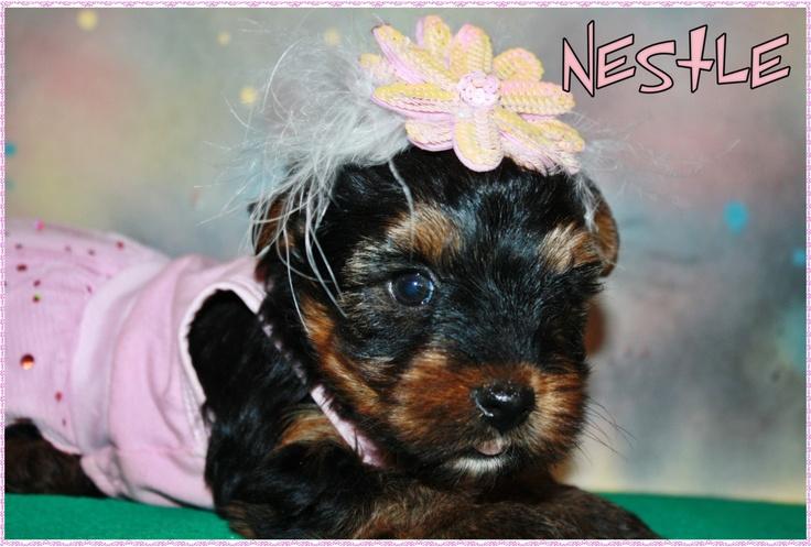 Yorkie Puppies For Sale Lexington Ky 2021