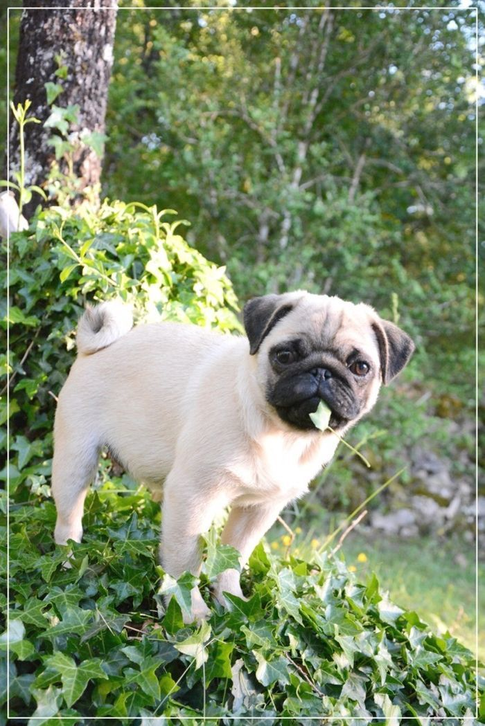 Cute pug <3 @yummypets