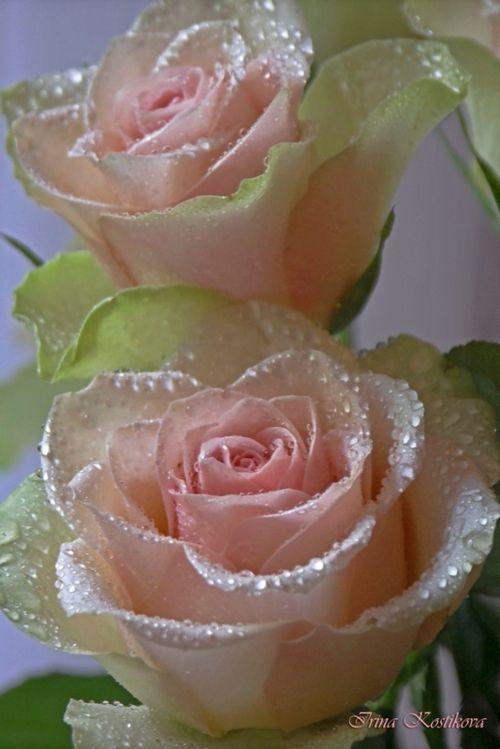 Light whites pink roses flowers.
