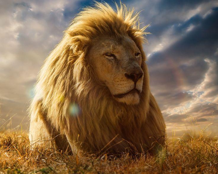 лев, царь зверей, грива, саванна