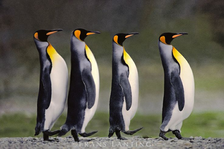 #photographer : Frans Lanting - King penguins courting, Aptenodytes patagonicus, South Georgia Island