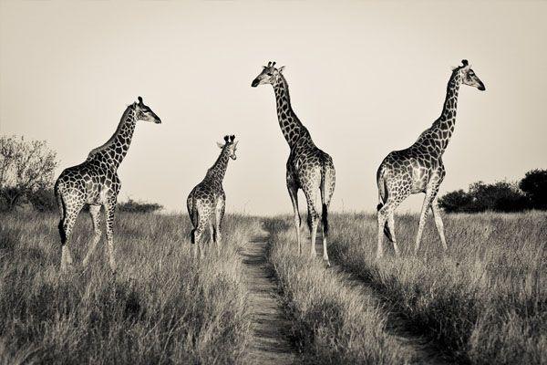 Africa | A bit of a traffic jam this morning... Kruger National Park, South Africa |  ©  Gorazd Golob