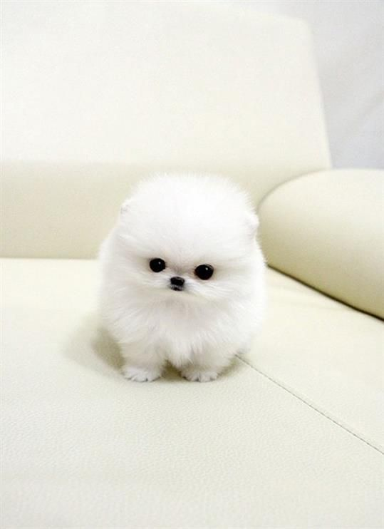 Tea Cup Pomeranian... such spoiled little   things. But, I feel like the lil' cutie pie is looking at me!!! Its so   creepy.:
