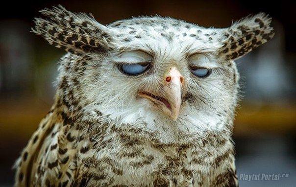 Картинки смешная сова (35 фото)   Смешные совы, Фотографии ...