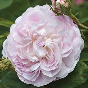 Rosiers anciens : les différents types - Rosiers blancs (Rosa alba)                                                                                                                                                                                 Plus