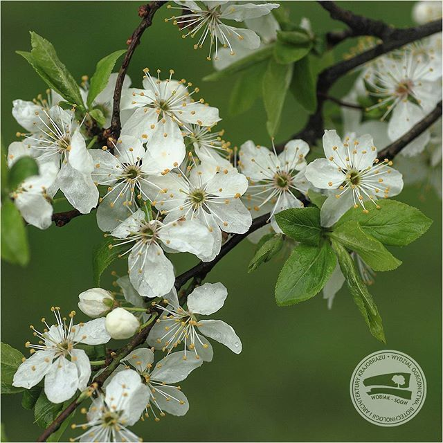 #śliwa domowa #mirabelka#Prunus domesticaL. subsp.syriaca #różowate #WOBiAK #SGGW 🌻🌻🌻🍊🍊🍊 #mirabelle #plum ormirabelle #prunePrunus domesticasubsp. syriaca #rosaceae  #WULS