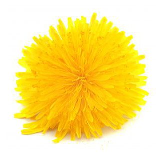 Herbs for weight loss Dandelion is a flowering plant in the Taraxacum plant family. Although it grows in gardens as a weed, it is also an important herb used especially for drinks including tea, wine and beer.  Dandelion is an excellent source of vitamins and most of the essential nutritional minerals.  However,