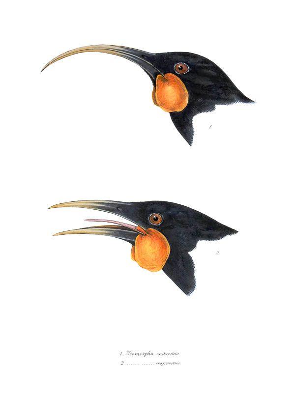 HUIA - NEW ZEALAND WATTLEBIRD - Neomorpha acutirostris and Neomorpha crassirostris (Now Heteralocha acutirostris and Heteralocha crassirostris) by Elizabeth Gould for John Gould's A Synopsis of Birds of Australia, and the Adjacent Islands. London 1837-1838