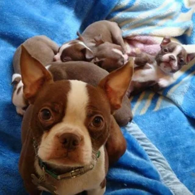 Beautiful Red Boston Terrier Mom with her Cute Puppies from England! ► http://www.bterrier.com/?p=28429 - https://www.facebook.com/bterrierdogs