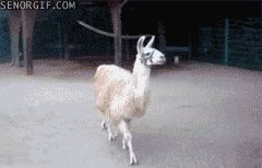 Fabulous llama does not approve of your shoes.  Also the rest of the animals on this page are pretty cute.