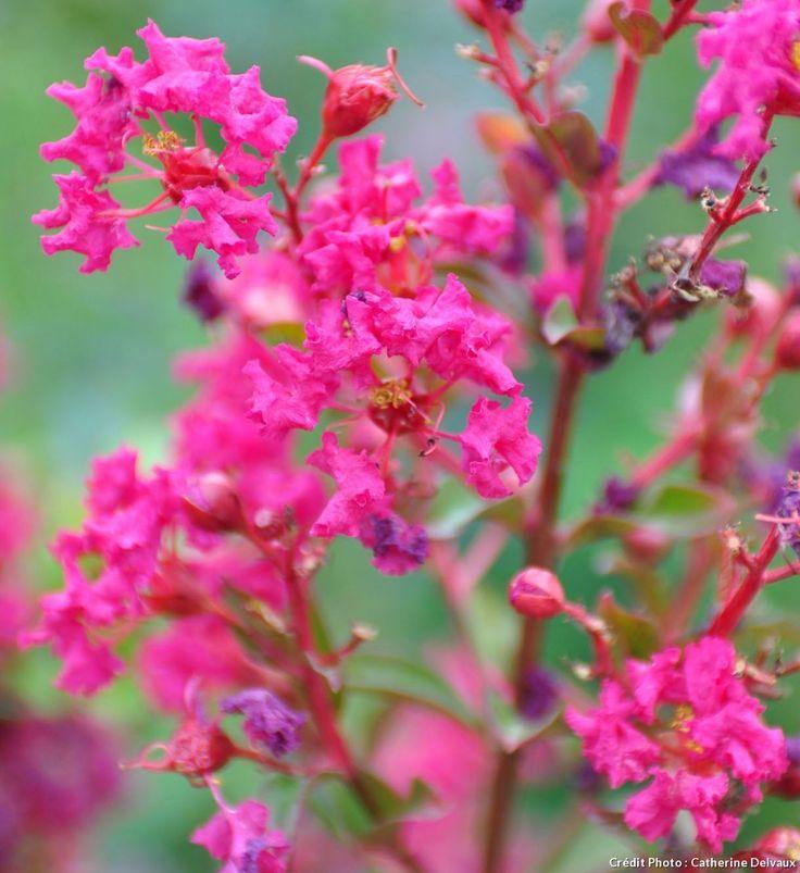 les 25 meilleures idées de la catégorie arbuste fleur rose sur