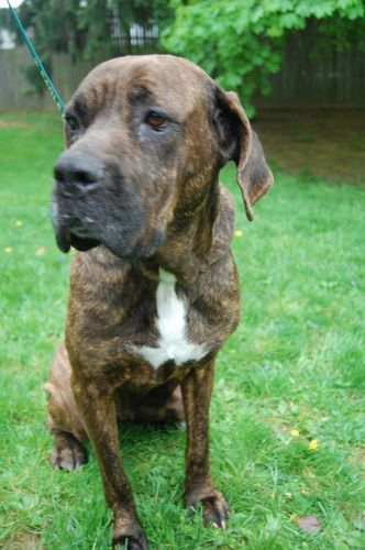 Adopt Leah on Spring, Chester and Brindle mastiff