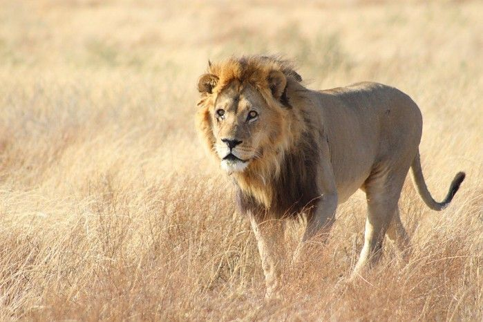 """Long Base', one of the Owens Boys (a coalition of male lions at Kalahari Plains Camp) looking for his pride..."