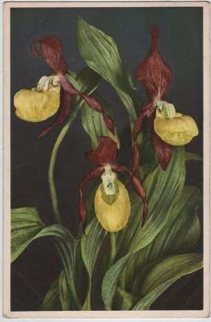 Lady's Slipper, c. 1955 postcard