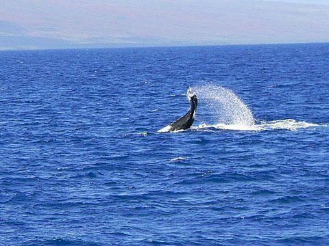 ホエールウォッチングのメッカであるマウイ。ダイナミックかつ美しいクジラの姿に思わず時を忘れてしまう。