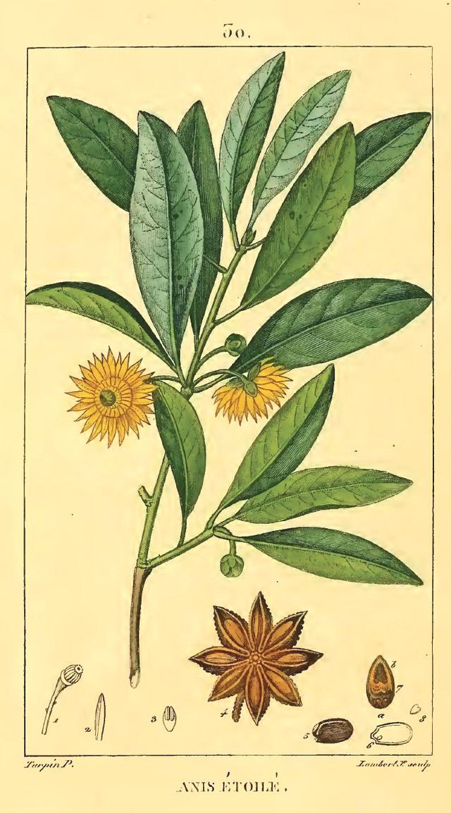 The tree of star anise is growing up to 8 meters tall. http://www.darkchocolatecourse.com/knowledge/6-spices-for-chocolate/