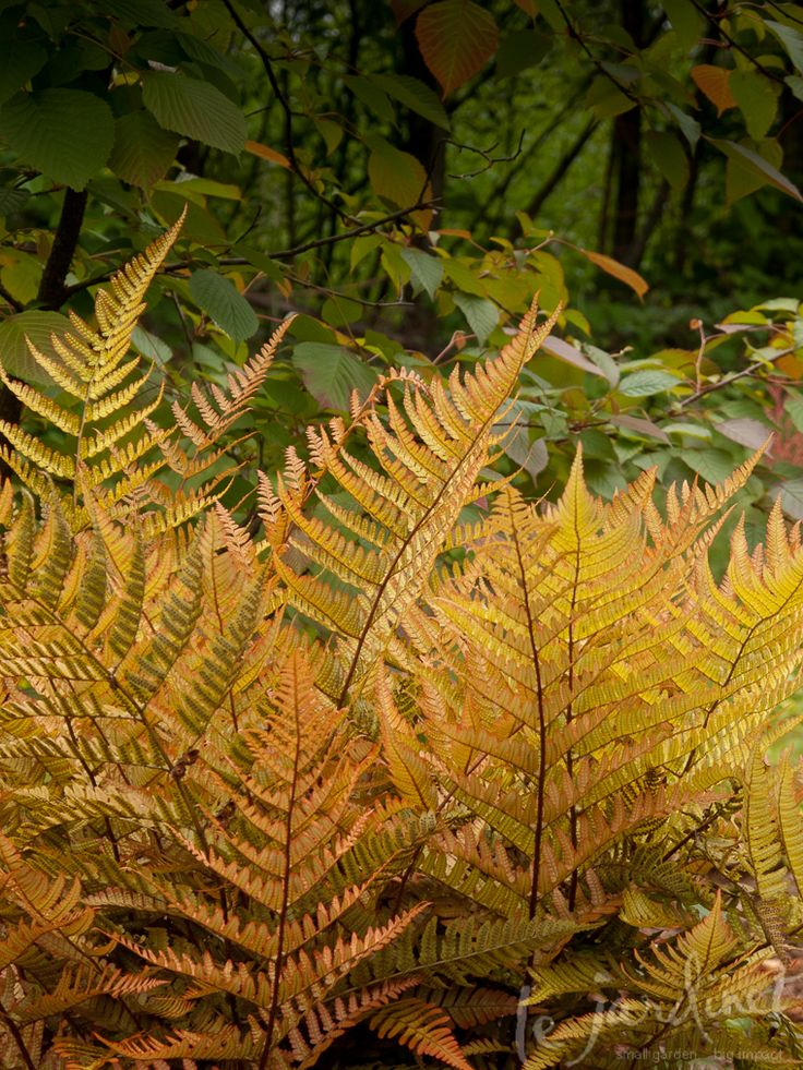 For the shade garden | Robust autumn ferns (Dryopteris erythrosora) shown here with the wonderful copper colors of newly unfurled frond | Evergreen, full shade, moist rich soil, 1.5-2'H x 1.5'W, drought resistant, z. 5-9