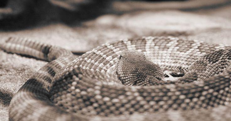 """Sintomas da mordida da cobra cascavel. Cascavéis estão entre as serpentes mais venenosas nos Estados Unidos. A cobra usa sua cauda com chocalho na ponta para avisar pessoas os animais que entram em seu território. De acordo com o Museu do Deserto de Sonora, no Arizona, aproximadamente 20% das mordidas defensivas das cascavéis são """"secas"""", isto é, sem veneno. No entanto, a maioria das ..."""
