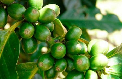 Beneficios del Café Verde - Para Más Información Ingresa en: http://trucosparaadelgazarrapido.com/2014/06/20/beneficios-del-cafe-verde/