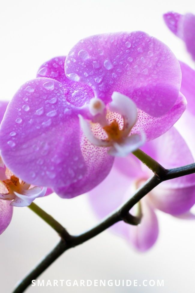 Phalaenopsis Orchid Care Orchid Care For Beginners Learn Everything You Need To Know About Growing And Lo In 2020 Phalaenopsis Orchid Care Orchid Care Indoor Orchids