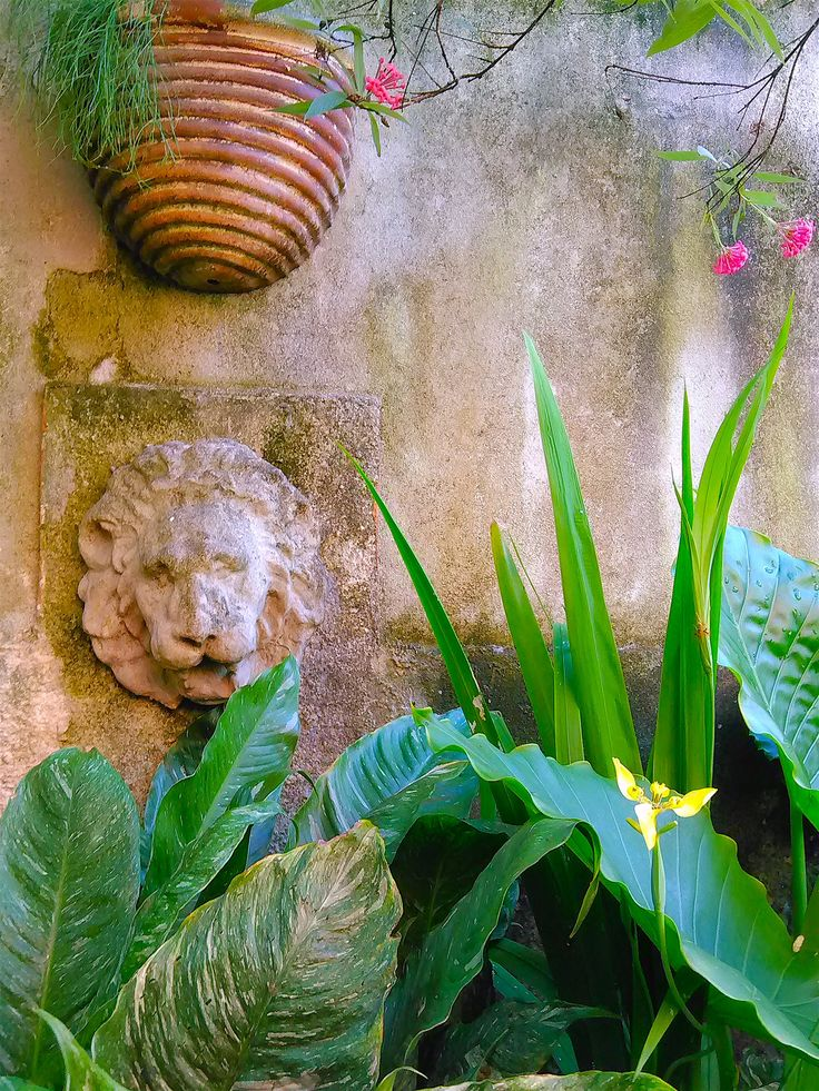 The lion on the garden wall. | Spathiphyllum, Neomarica, Alocasia, Russelia equisetiformis (Firecracker plant) in the terracotta pot and a few branches of Panamá Rose (Rondeletia leucophylla). Side garden east wall.
