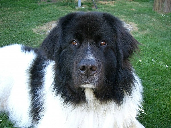 landseer serious looking dog wouldn 39 t want to meet him her if i were a burglar doesn 39 t look. Black Bedroom Furniture Sets. Home Design Ideas