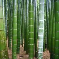 200+ Fresh Giant Bamboo Seeds - Dendrocalamus Giganteus. High USA Germination!