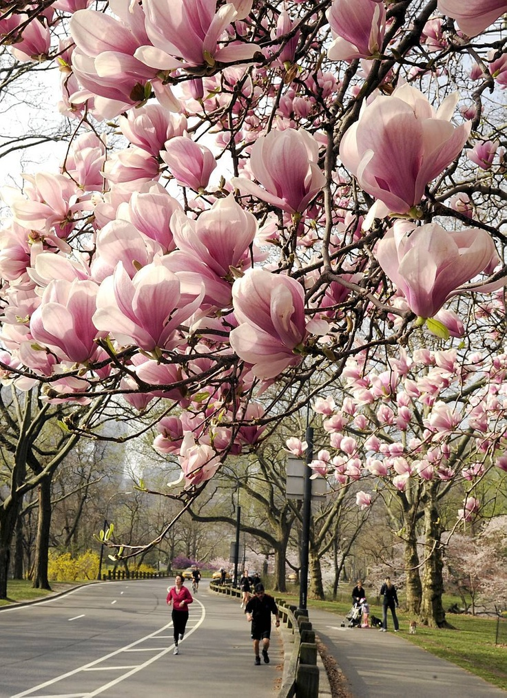 Even in a concrete jungle like N.Y.nature shows it's glory. Blossoms in Central Park.  The trees bloom in New York's Central Park, an exceptionally early.  The reason is the unusually warm winter, which makes trees bloom in about three weeks earlier than usual.