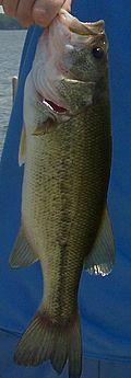 Largemouth bass - Wikipedia, the free encyclopedia