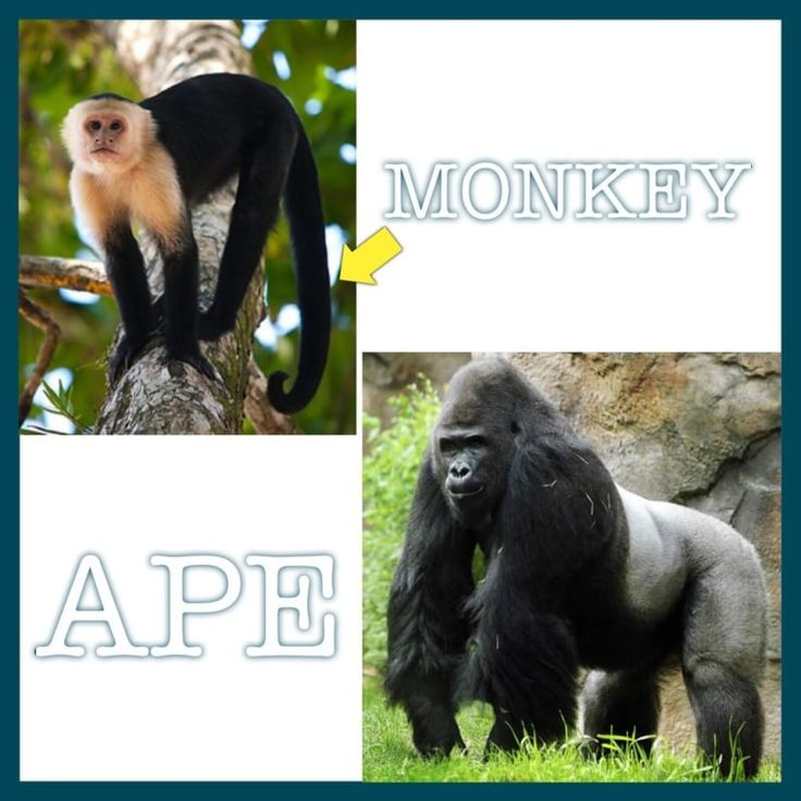 """Since humans are most genetically related to other apes, calling an ape a """"monkey"""" is pretty much the equivalent of calling YOURSELF a monkey. How do you tell the difference? Apes don't have tails!"""