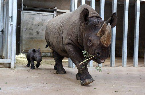 Bisher hat das kleine Nashorn, das seiner Mutter Ayana hinterherläuft, noch keinen Namen. Es wurde vor einer Woche im Blank Park Zoo in Des Moines, der Hauptstadt des US-Staates Iowa, geboren.  Foto: AP
