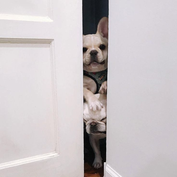 """""""When you're climbing over your brother because you know there's treats in the Kitchen!"""", funny French Bulldogs ❤"""