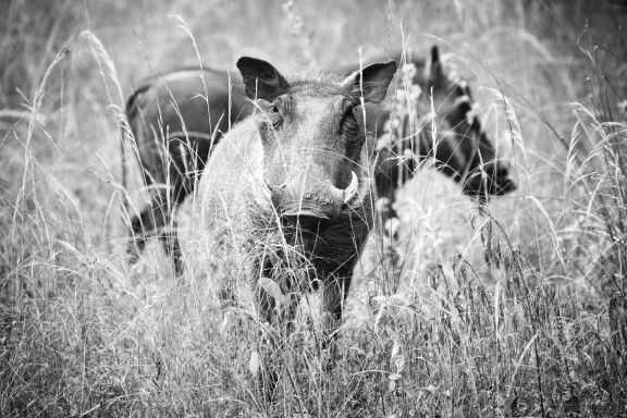Warthogs in Mabula Lodge Private Game Reserve