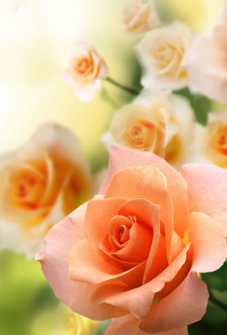 best 25 peach rose ideas on pinterest roses orange roses and orange flower pictures