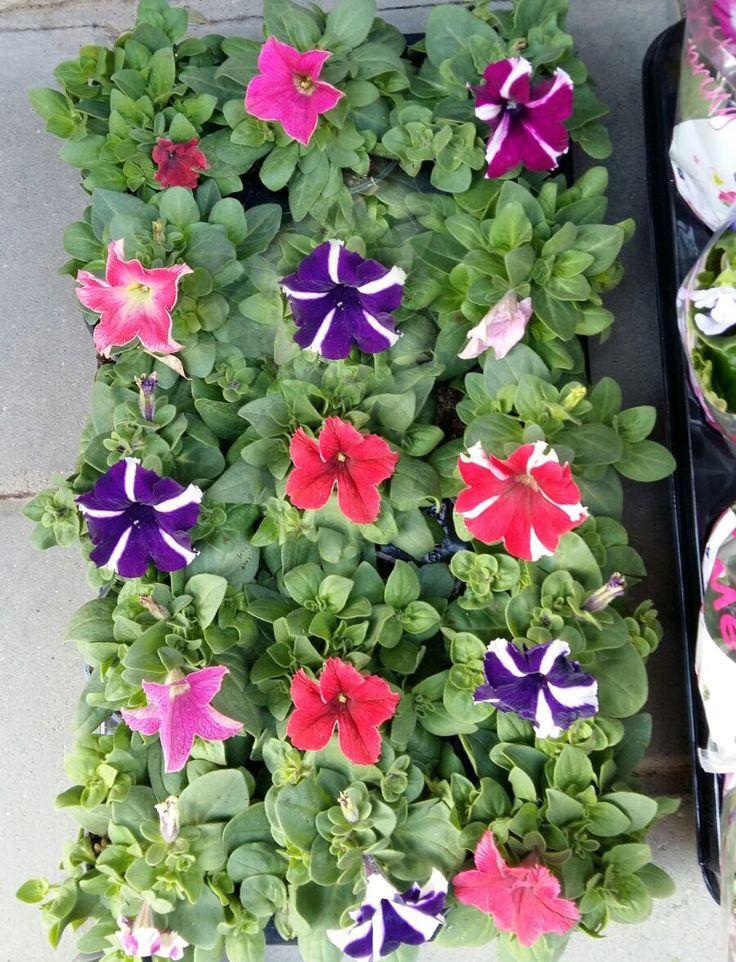 Plantes i flors per el jardí o terrasses.