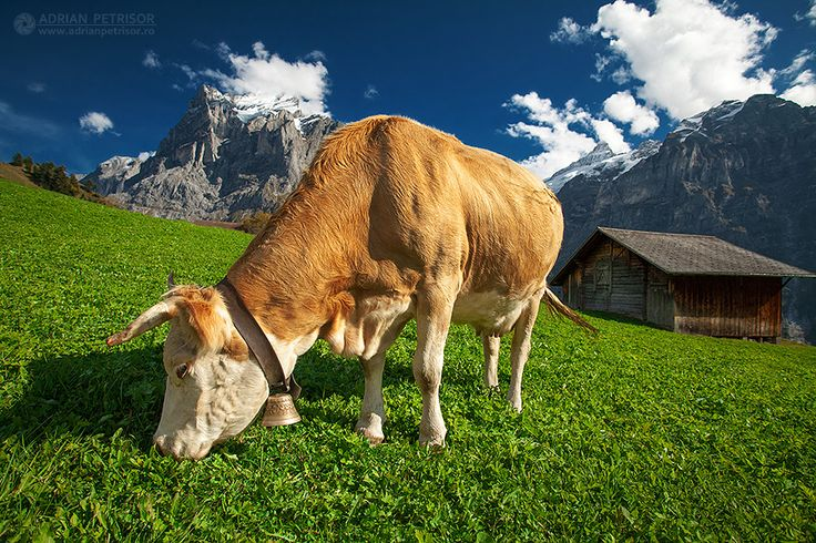 Swiss landscape with a cow on a green field.