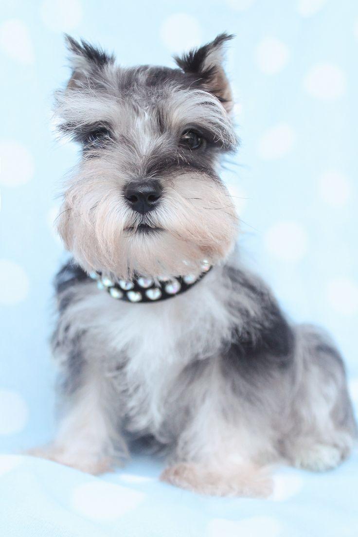 Beatuiful Miniature Schnauzer Puppies South Florida Mini