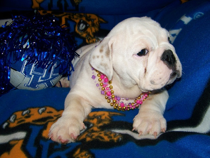 Baby English Bulldogs | Puppies for Sale | Pinterest
