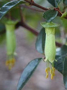 Correa (plant) - Native Australian plant. Bird attracting