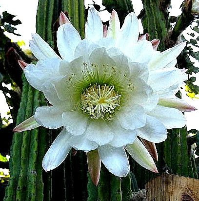 San Pedro Cactus is a fast-growing columnar cactus native to the Peruvian Andes. It's easy to grow and the cluster of tall, slender branches is especially handsome. When conditions are right (usually