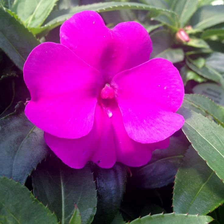 Bounce Impatiens are the new Impatiens. Impatiens suffer from Downy mildew, the bounce impatiens are a great alternative.