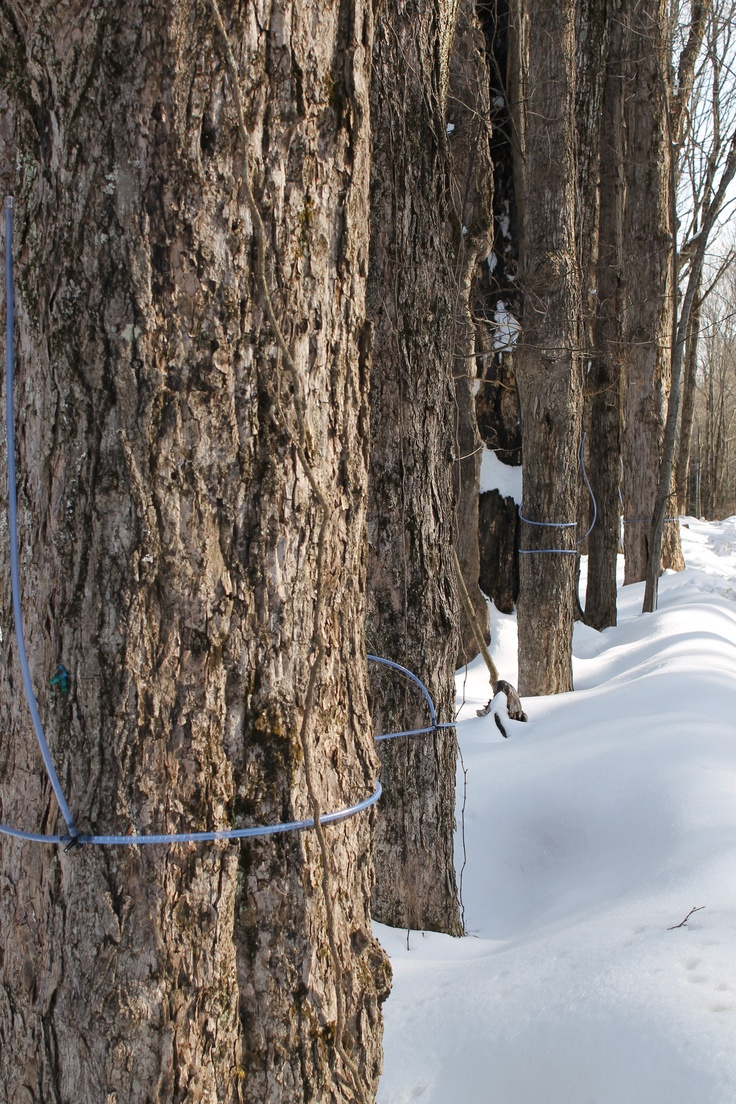 247 best maple sugaring images on pinterest sugaring maple