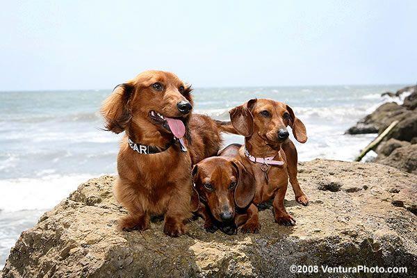 Pet Photography Ventura Beach Dachshund Dog Beach Animal